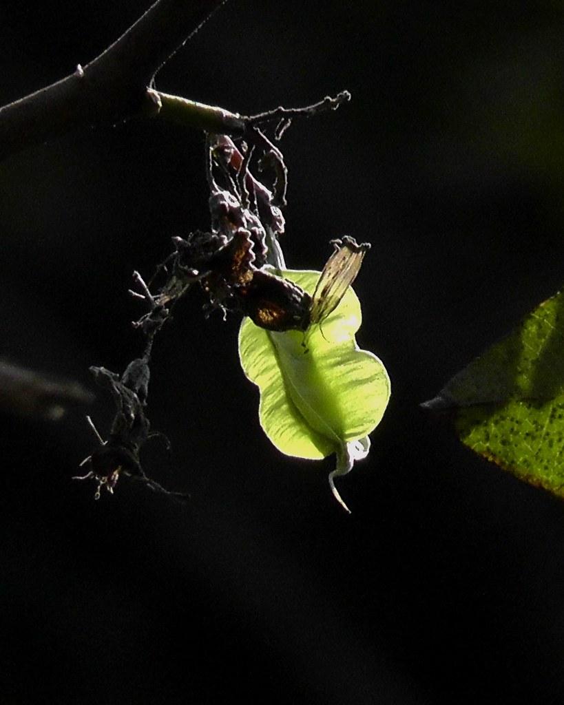 Piscidia piscipula fruit_Fish poison tree_Fabaceae_Rani Bagh_2012_04