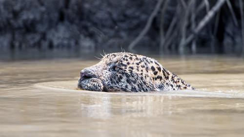 Swimming jaguar   by Tambako the Jaguar