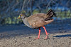 Black-tailed Native-hen by Peter Jacobs Photos