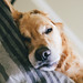 Sleeping in by Brady the Golden Retriever