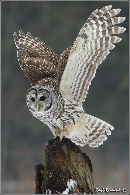 Barred Owl (20130128-0875)