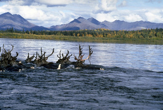 Swimming the Kobuk | by Western Arctic National Parklands