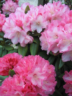 Rhododendron 'Barnstedt' | by Behnke Nurseries, Inc