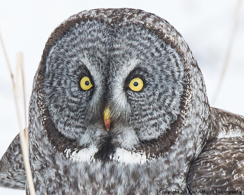 Great Gray Owl1-6031 | by jrmorris-mt