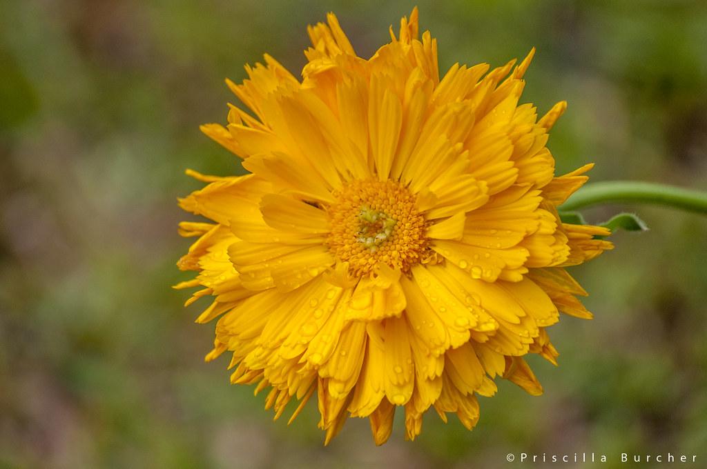 Calendula officinalis (Common Marigold/Botón de Oro)