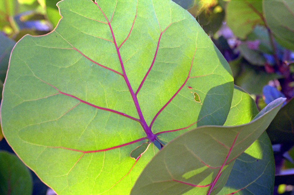 Sea grape leaves