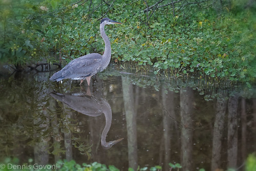 virginia greatblueheron huntleymeadows juvenile reflection summer sunrise water wildlife alexandria unitedstates us