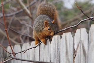 Squirrel, January 11, 2013 | by Maggie Osterberg