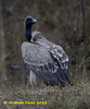 Indian Vulture, Long-billed Vulture,  Gyps indicus,  IUCN Critically Endangered by Graham Ekins