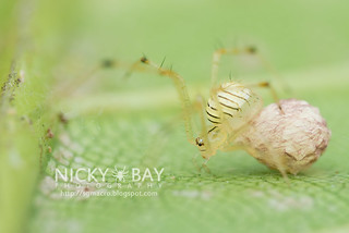 Comb-Footed Spider (cf. Meotipa sp.) - DSC_5123
