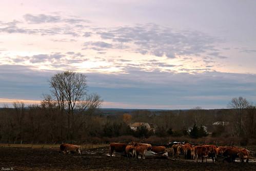 trees winter sunset sky tree clouds scenery cows dusk farm hill hills rhodeisland eveningsky wintersky dairyfarm scenicview colorfulsky januarysky scituaterhodeisland
