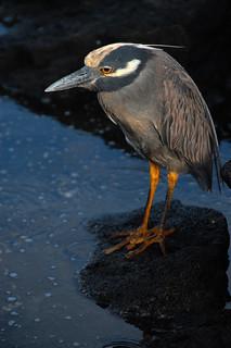 Yellow-Crowned Night Heron, Galapagos