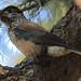 Nucifraga caryocatactes - Photo (c) daviddvd-fudan, algunos derechos reservados (CC BY-NC-SA)