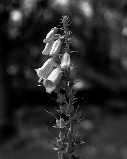 Foxglove (Hyons Wood)