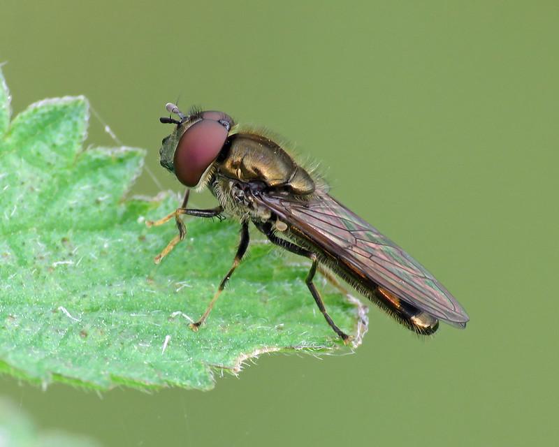 Platycheirus albimanus