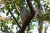 5883 Frances' Sparrowhawk by Cliff Buckton