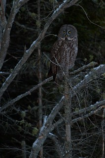 Great Gray Owl | by andysj531