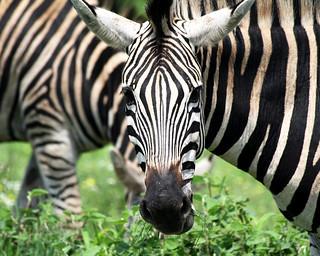 Zebra, Kruger Park, South Africa | by Dimitry B