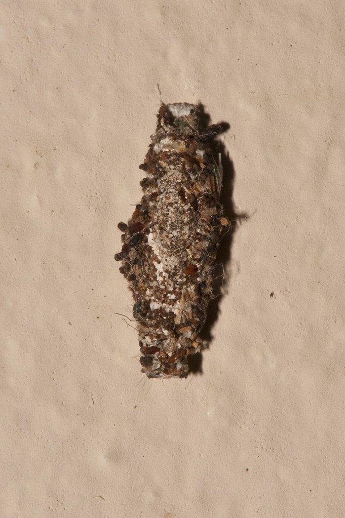 Phereoeca uterella (Plaster bagworm) | On concrete wall in a… | Flickr