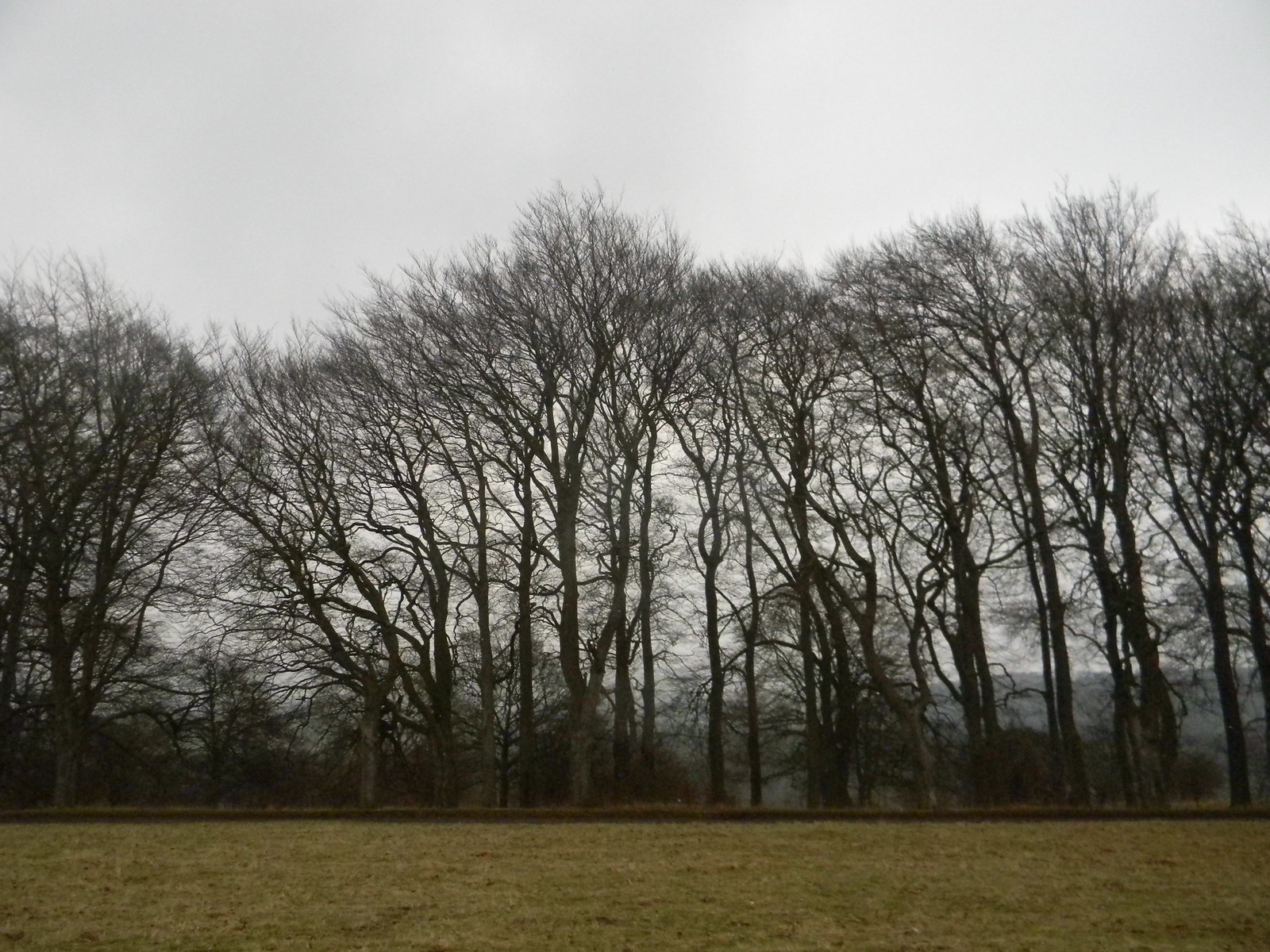 trees in a row Tring to Berkhamsted (via shortcut)