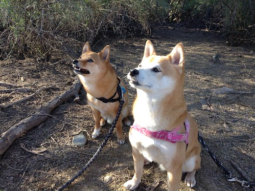 taro and kiyomi, sitting patiently during a hike | by _tar0_
