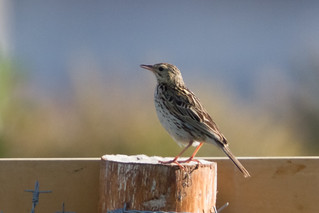 Correndera Pipit | by rhysmarsh