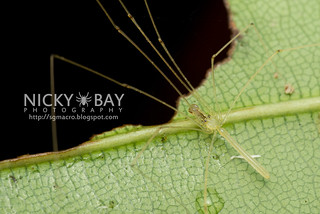 Daddy Long Leg Spider (Nipisa phyllicola) - DSC_7816