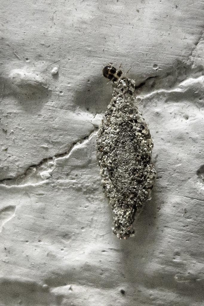 Case Bearing Moth Larva, Hanoi | P1050556 | Gavin White | Flickr