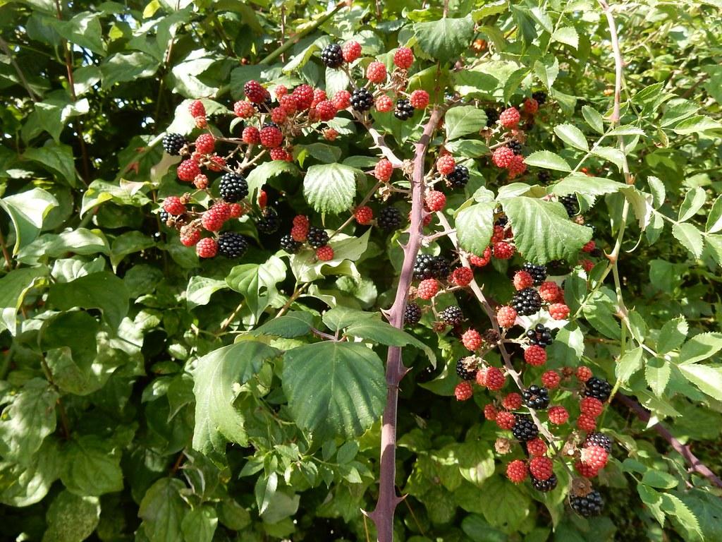 Nice blackberries Henley Circular via Stonor