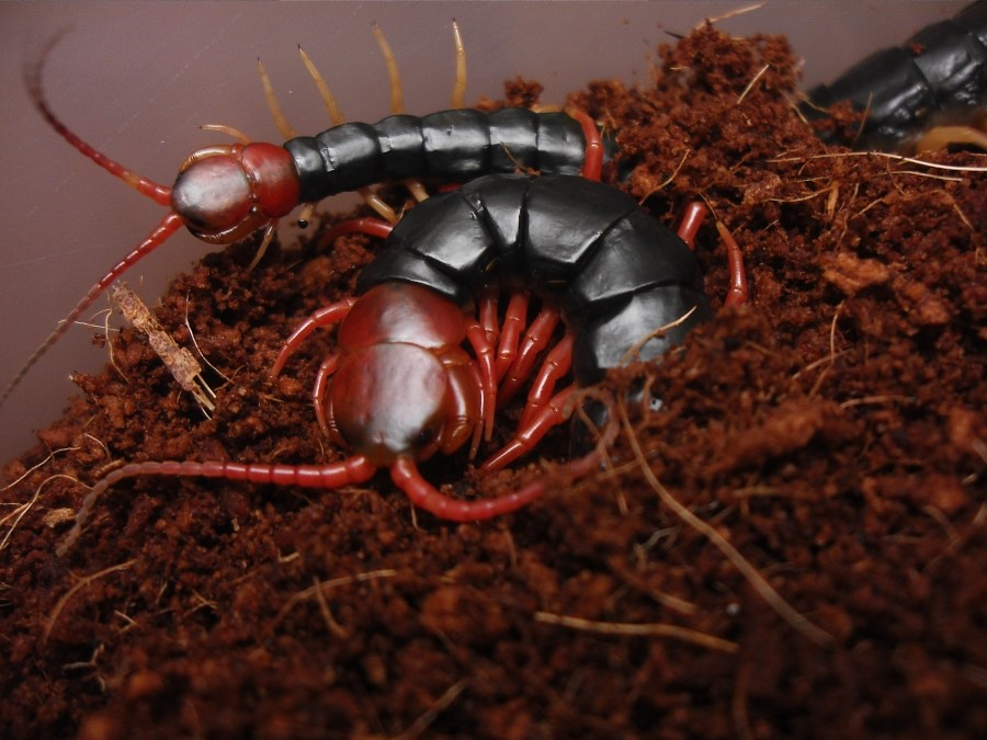 Scolopendra subspinipes mutilans(=subspinipes) | BroodKeeper