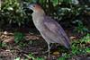 黑冠麻鷺 Malayan Night Heron by YoyoFreelance