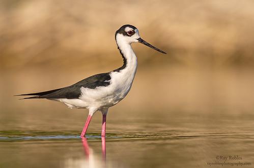 bird birds blackneckedstilt earlymorning avian stilt 300mmf4 d7000 birdperfect