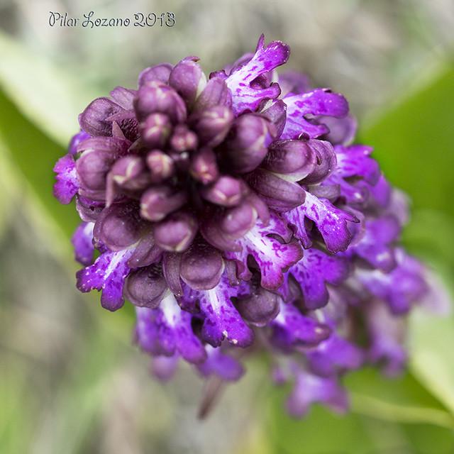 Orchis robertiana, Barlia longibractea.