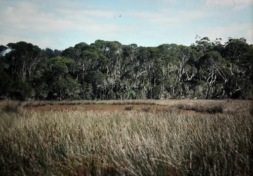 landscape australia victoria ecosystem mallacoota tidalswamp geo:country=australia geocode:method=googleearth geocode:accuracy=500meters saltwaterswamp