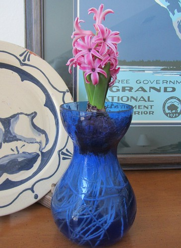 Hyacinths to Feed My Soul | My forced hyacinth is blooming ...