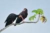 Sharp-tailed ibis -Cercibis oxycerca- by Oscar Humberto Marín-G