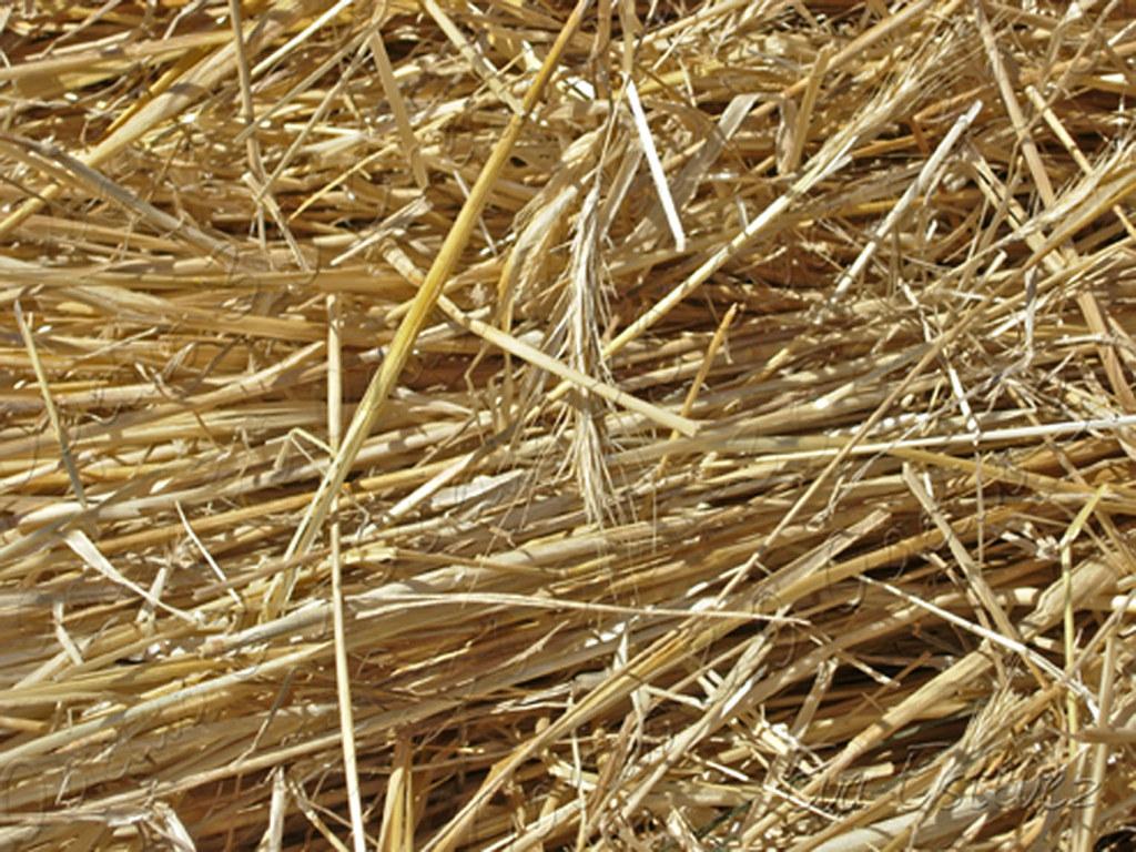 paja - cebada - cereal- avena - trigo - centeno - espiga -… | Flickr