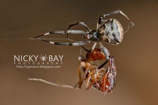 Comb-Footed Spider (Episinus sp.) - DSC_7618