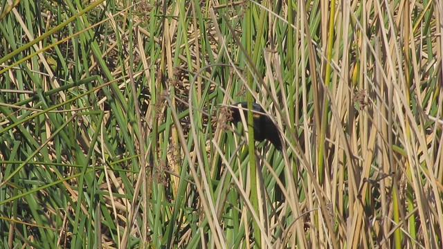 MVI_7145 LLC red winged blackbirds calling in reeds 27s