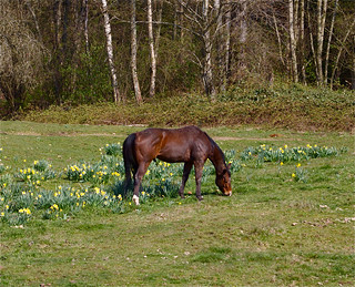Horse and Daffodils | by jerrygabby1