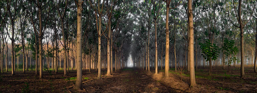 tree farm pano australia panoramic richmond rows plantation nsw d800 brucehood paulowina