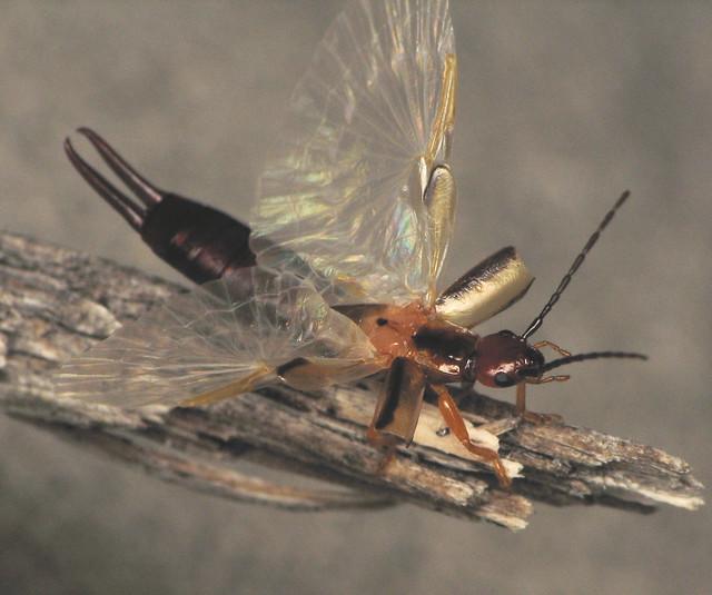 Earwig Wings!