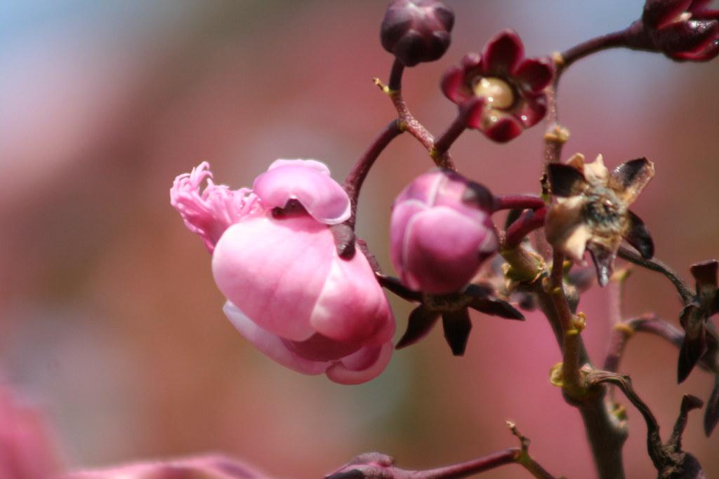 Série sobre a Sapucaia: flor da Sapucaia 8 491