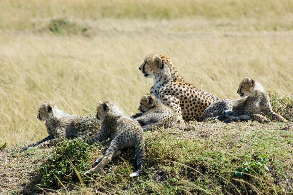 Cheetah Seq2 007