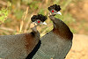 Crested Guineafowl - Hluhluwe GR - South Africa by bart coessens
