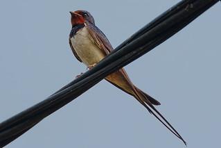 Деревенская ласточка, Hirundo rustica gutturalis, Barn Swallow | by Oleg Nomad