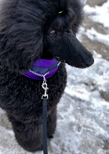 2018 troy standardpoodle 52weeksfordogs