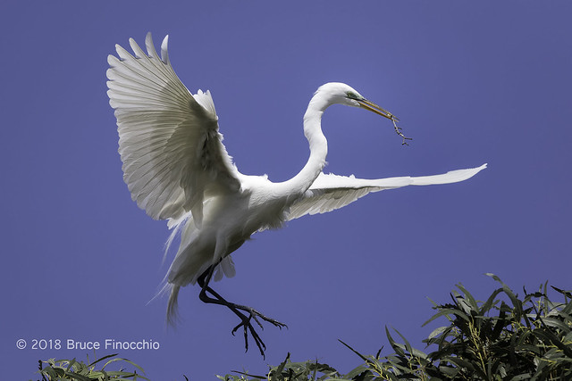 Great Egret Landing With Stick For Nest Building