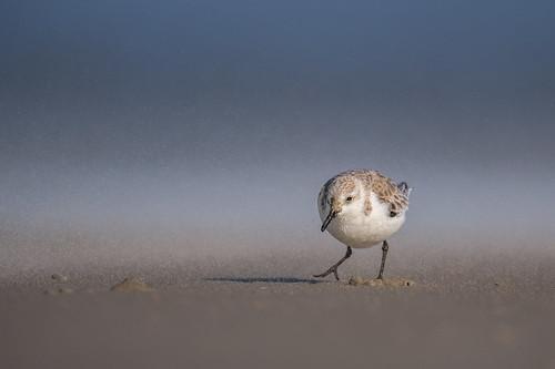 shorebird sand ocean wildlife nature bird beach peeps stoneharbor sanderling sandstorm stoneharborpoint sandpiper newjersey unitedstates us nikon d500