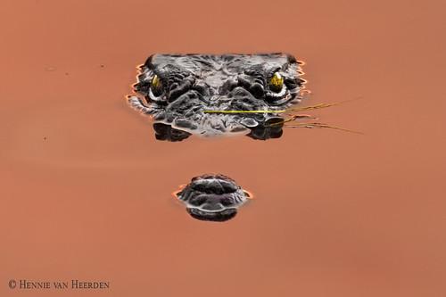 wildlife nature wild animal crocodile krokodil schnappie gambia marakissa alahein river sunset nilecrocodile crocodiledunil crocodylusniloticus nilkrokodil hvhe1 hennievanheerden water specanimal